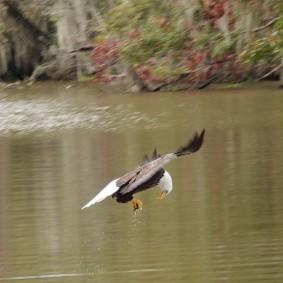 Vers Houma - Dans le bayou - Pygargue