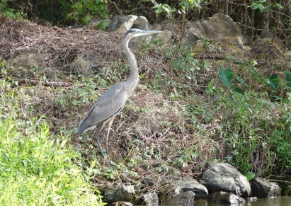 Vers Houma - Dans le bayou - Héron bleu