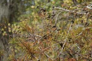 Vers Houma - Dans le bayou - Fruits de cyprès