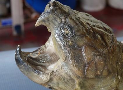 """Vers Houma - Dans le bayou - La langue d'une tortue possède deux petits """"vers"""" qui servent d'appât pour la pêche : astucieux !"""