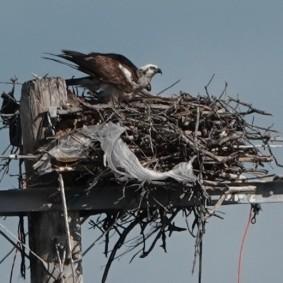 Caye Caulker - Buse à queue barrée - Il y a du plastique même dans son nid... Triste...