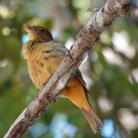 Bacalar - Paruline jaune