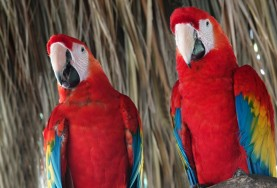 Palenque - Ecoparque Aluxes - Aras