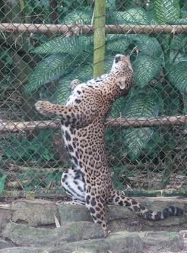 Palenque - Ecoparque Aluxes - Panthère