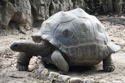 Palenque - Ecoparque Aluxes - Tortue d'Afrique