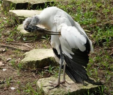 Palenque - Ecoparque Aluxes - Cigogne du Mexique