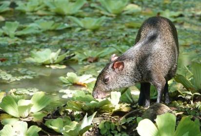 Palenque - Ecoparque Aluxes - Agouti
