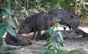 Palenque - Ecoparque Aluxes - Pecaris