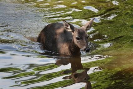 Palenque - Ecoparque Aluxes - Cerfs