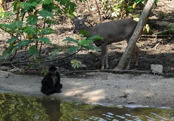 Palenque - Ecoparque Aluxes - Singe et cerf, une cohabitation peu commune !