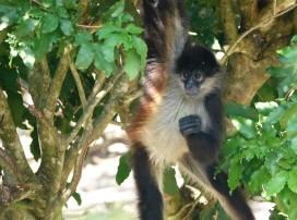 Palenque - Ecoparque Aluxes - Singe-araignée