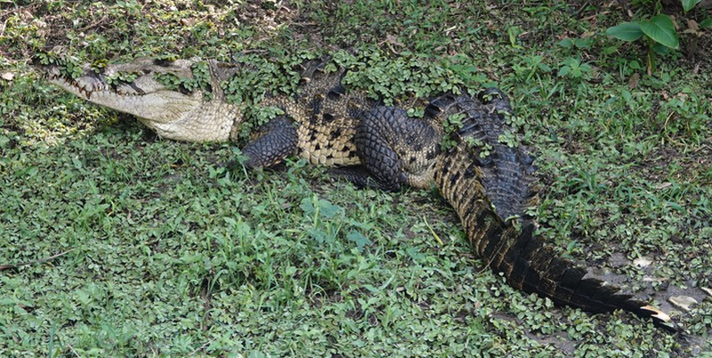 Palenque - Ecoparque Aluxes - Crocodile