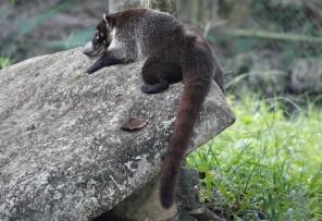 Palenque - Ecoparque Aluxes - Coati