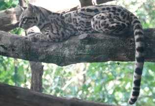 Palenque - Ecoparque Aluxes - Ocelot