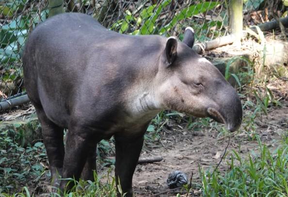 Palenque - Ecoparque Aluxes - Tapir
