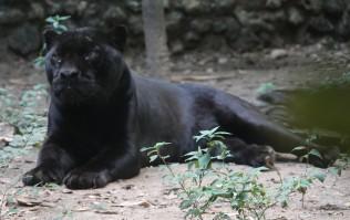 Palenque - Ecoparque Aluxes - Panthère noire