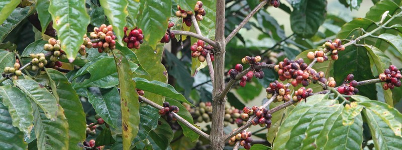 Au cœur de la plantation de café de la famille Welchez, à la Finca SantaIsabel