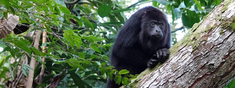 Rencontre avec les singes hurleurs duBélize
