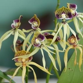 Bermudian Landing - Nature Resort - Orchidée noire
