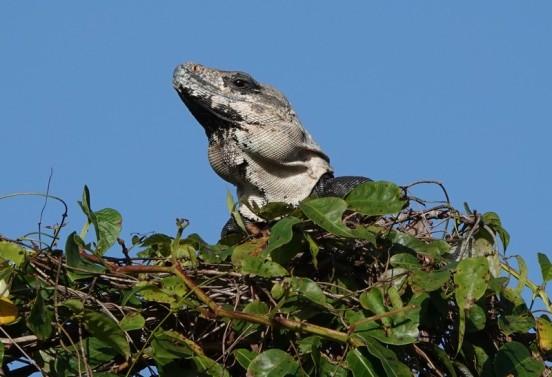 Bermudian Landing - Nature Resort - Iguane