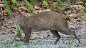 Bermudian Landing - Nature Resort - Agouti