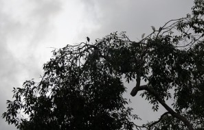 Bermudian Landing - Balade en canoé - Aigrettes blanches