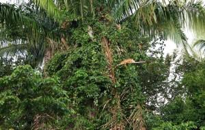 Bermudian Landing - Balade en canoé - Iguane