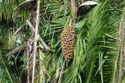 Bermudian Landing - Balade en canoé - Palmier à huile sauvage