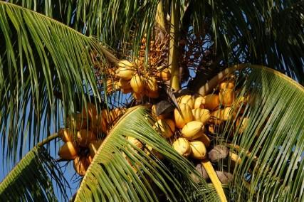 Bermudian Landing - Balade en canoé - Noix de coco jaunes