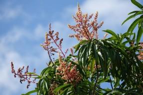 Bermudian Landing - Manguier en fleurs