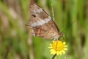 Bermudian Landing - Papillon