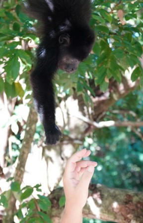 Bermudian Landing - Bébé singe hurleur