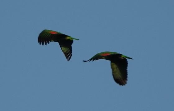 Lodge du Zoo de Belize - Perroquets