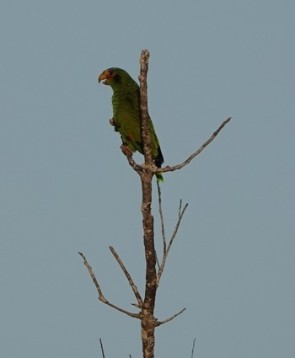Lodge du Zoo de Belize - Perroquet