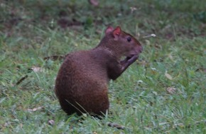 Lodge du Zoo de Belize - Agouti