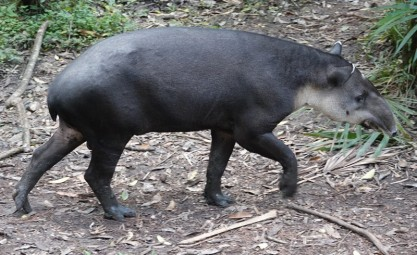 Belize Zoo - Tapir