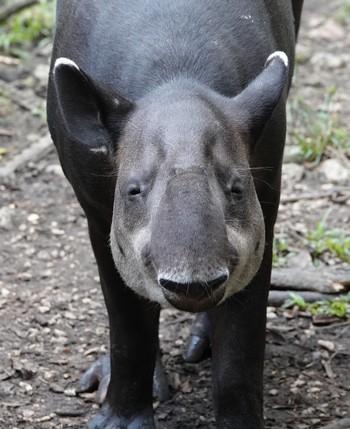 Belize Zoo - Tapir