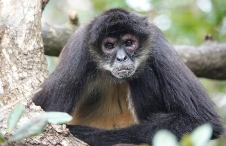 Belize Zoo - Singe araignée