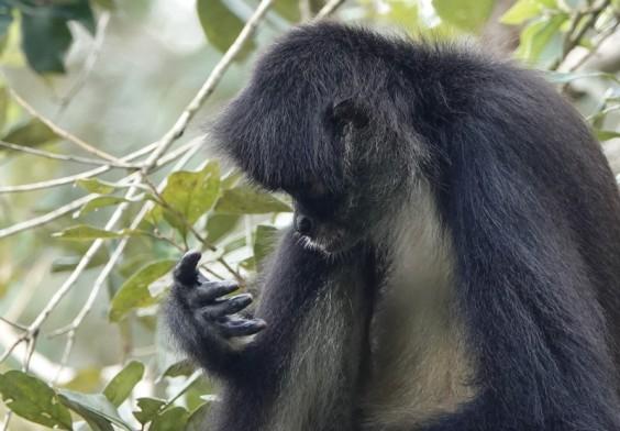 Belize Zoo - Singe araignée - 2 + 2... en plein calcul !