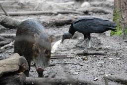 Belize Zoo - Pécari et vautour