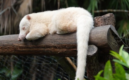 Belize Zoo - Coati albinos