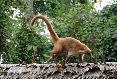 Belize Zoo - Coati