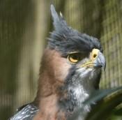 Belize Zoo - Caracara