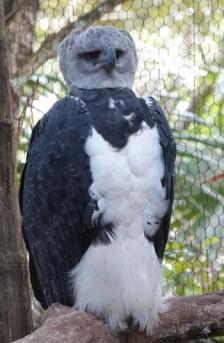 Belize Zoo - Aigle harpie