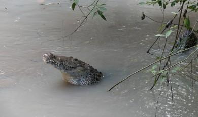 Belize Zoo - Crocodile