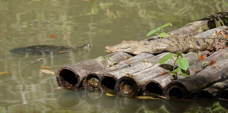 Belize Zoo - Crocodile et tortue