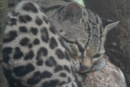 Belize Zoo - Ocelot