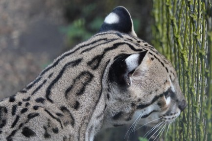 Belize Zoo - Ocelot