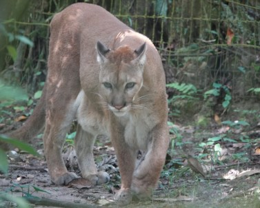 Belize Zoo - Puma