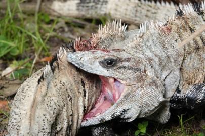 Lodge du Zoo de Belize - Iguanes